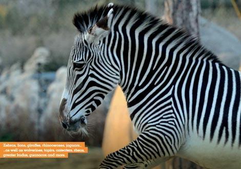 zebre al Parco Zoologico di Parigi
