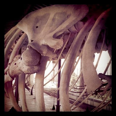 Scheletro di una balena