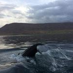 "Le balene in Islanda: il mio incredibile ""Whale Watching"""