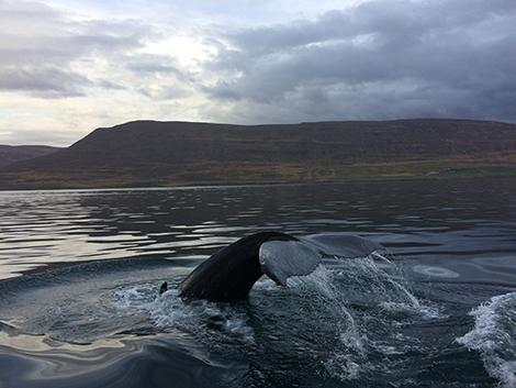 islanda-balene