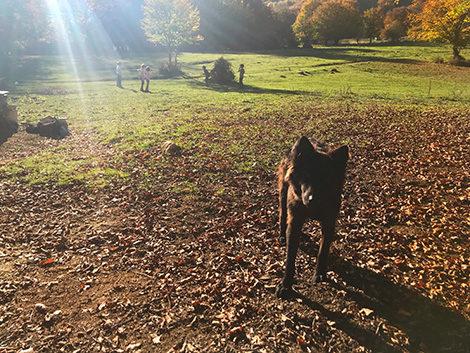 cane da pastore a prato di campoli